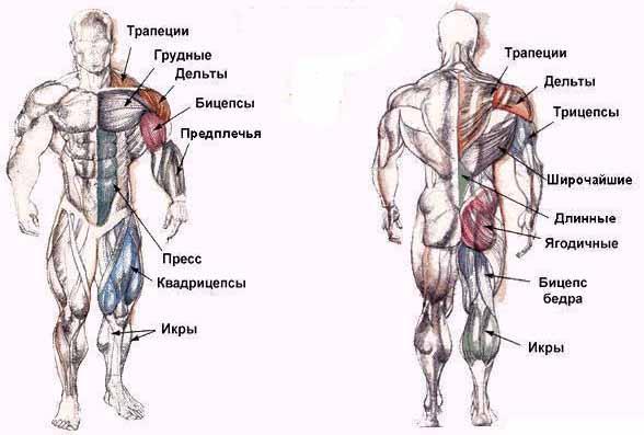 а именно, с мышц спины