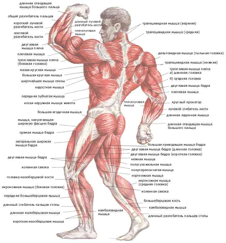 anatomy_man